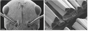 Left: SEMS image of Sahara silver ant head. Right: SEM image of ant hairs.  Notice that they are corrugated on the top surfaces, have a triangular cross-section, and are of different sizes.  From Ref. [1].
